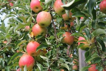 りんご1.JPG