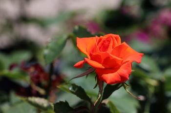 最後の薔薇.JPG