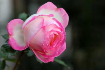 最後の薔薇1.JPG