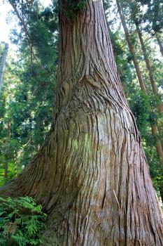 杉巨木.JPG