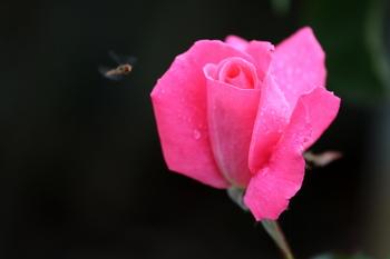 秋薔薇4.JPG